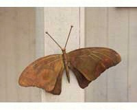 Butterfly Wall Mount Flamed Copper-ANCIENTAG1021