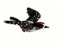 Downy Woodpecker Window Magnet-CC52032