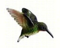 Ruby Throated Hummingbird Window Magnet-CC52033