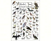 Birds of the Great Lakes Region Poster-LEWERSBGPT130
