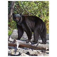 Black Bear 1000 Piece Puzzle-GEP106