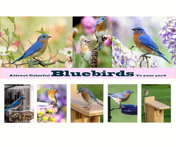 Attract Colorful Bluebirds To Your Yard SEPOSTBLUEBIRD