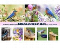Attract Colorful Bluebirds To Your Yard-SEPOSTBLUEBIRD