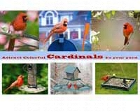 Attract Colorful Cardinals To Your Yard-SEPOSTCARDINALS